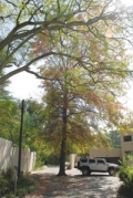 Tree time in Bryanston
