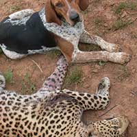 Leopard killers dodge the law