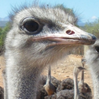 Ostrich capital is a nest of political intrigue