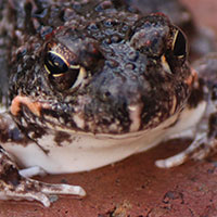 A plague on frogs - and the people of Polokwane