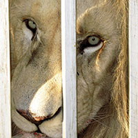Lions to the slaughter